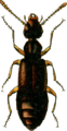 Boreaphilus velox Jacobson.png