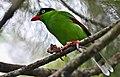 Bornean Green Magpie 1.jpg