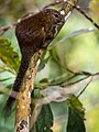 Borneo Black-banded Squirrel (13890716544).jpg