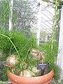 Bowiea volubilis - Buffalo and Erie County Botanical Gardens - 1-10 - IMG 3570.JPG