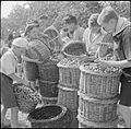 Boy Scouts Pick Fruit For Jam- Life on a Fruit-picking Camp Near Cambridge, England, UK, 1943 D16209.jpg