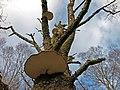 Bracket Fungus, Glen Falloch - geograph.org.uk - 1060427.jpg