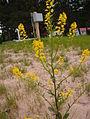 Brassica nigra, Pancake Bay.jpg