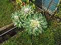 Brassica oleracea osaka white-3-nuwara eliya-Sri Lanka.jpg