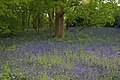 Braxted Park Bluebells - geograph.org.uk - 425520.jpg