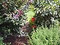 Bright Red Daylily - 9450512829.jpg
