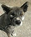 Brindle Moku Akita Inu - Short Clipped Fur - Face Shot.jpg