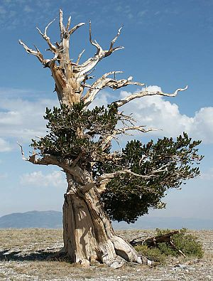 Snake Range - Great Basin Bristlecone Pine (Pinus longaeva) on 'The Table'