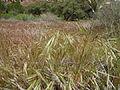 Bromus diandrus and Bromus tectorum (6231107172).jpg