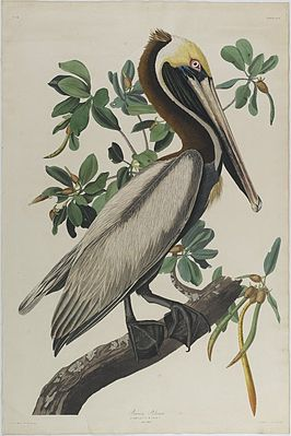 Brooklyn Museum - Brown Pelican - John J. Audubon.jpg