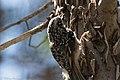 Brown Creeper South Fork Portal AZ-18 (35707094622).jpg