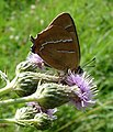 Brown Hairstreak Butterfly RSPB Pulborough West Sussex - geograph.org.uk - 599367.jpg