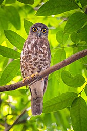 Brown hawk-owl খয়রা শিকরেপ্যাঁচা.jpg