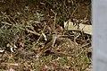 Brown shrike (Lanius cristatus) from Valparai JEG8100.jpg