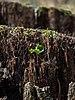 Bruderwald Baumstumpf Keimling 2019-04-15 21-57-05.jpg