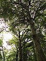Bryngarw Country Park, Beech Avenue.jpg