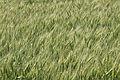Buğday tarlası - Wheat field 04.jpg