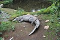 Buaya Darat ( Crocodile ).jpg