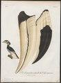 Buceros coronatus - snavel - 1801 - Print - Iconographia Zoologica - Special Collections University of Amsterdam - UBA01 IZ19300198.tif