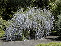 Buddleja alternifolia 2.jpg