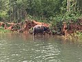 Buffalo between Inle Lake and Indein.jpg