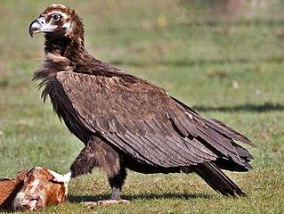 Cinereous vulture Species of bird