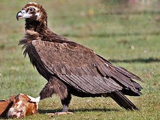 Cinereous vulture - Cinereous vulture with a dead calf