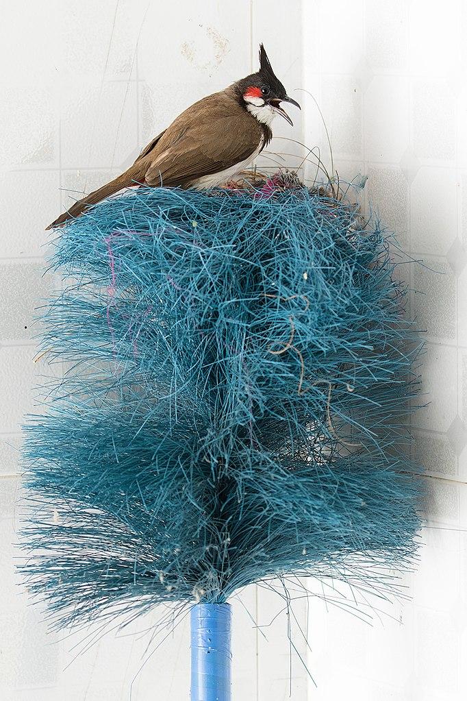 Bulbul nest broom  https://commons.wikimedia.org/wiki/File:Bulbul_nest_broom.jpg  (CC BY-SA 4.0)