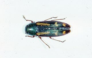 <i>Buprestis rufipes</i> species of beetle