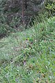 Burnt-tip Orchid - Neotinea ustulata - panoramio (55).jpg