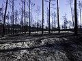Burnt forest (27851773299).jpg