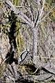 Burnt protea (Protea montana?) (4575513667).jpg
