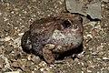 Burrowing Frog Sphaerotheca breviceps by Dr. Raju Kasambe DSCN6848 (6).jpg