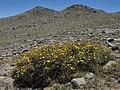 Bush cinquefoil, Dasiphora fruticosa (25170319891).jpg