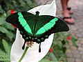 Butterfly-green black.jpg