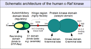 C-Raf - A schematic architecture of human c-Raf protein