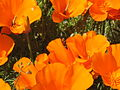 CA Wild Poppies 2010 A.JPG