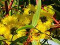 CSIRO ScienceImage 11601 Flowering gum Margaret River Western Australia.jpg
