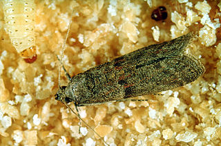 Almond moth species of insect