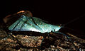 CSIRO ScienceImage 377 Katydid of Tettigoniidae Family.jpg