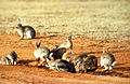 CSIRO ScienceImage 453 European Rabbits.jpg