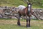 Cabalo no alto da Coma. Andorra 284.jpg