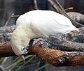 Cacatua haematuropygia Parc des Oiseaux 21 10 2015 2.jpg