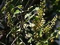 Caesalpinia cucullata Roxb. (29883688172).jpg