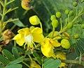Caesalpinia sappan flowers 01.JPG