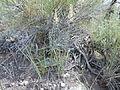 Calamagrostis montanensis (6170248893).jpg