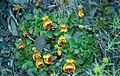 Calceolaria uniflora darwinii.jpg