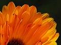 Calendula Petals (2786415449).jpg
