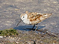 Calidris alpina (foraging).jpg