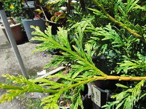 Calocedrus macrolepis - foliage of Calocedrus macrolepis